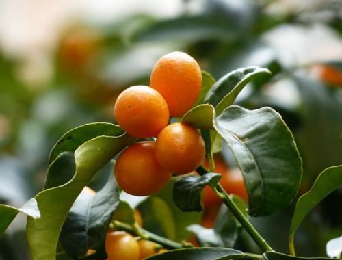 kumquats-MDA minjat